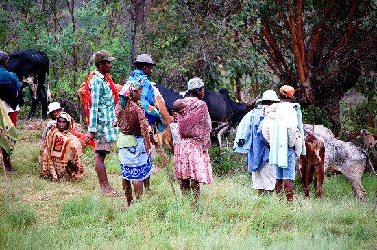 Ethnie Betsileo et zébus