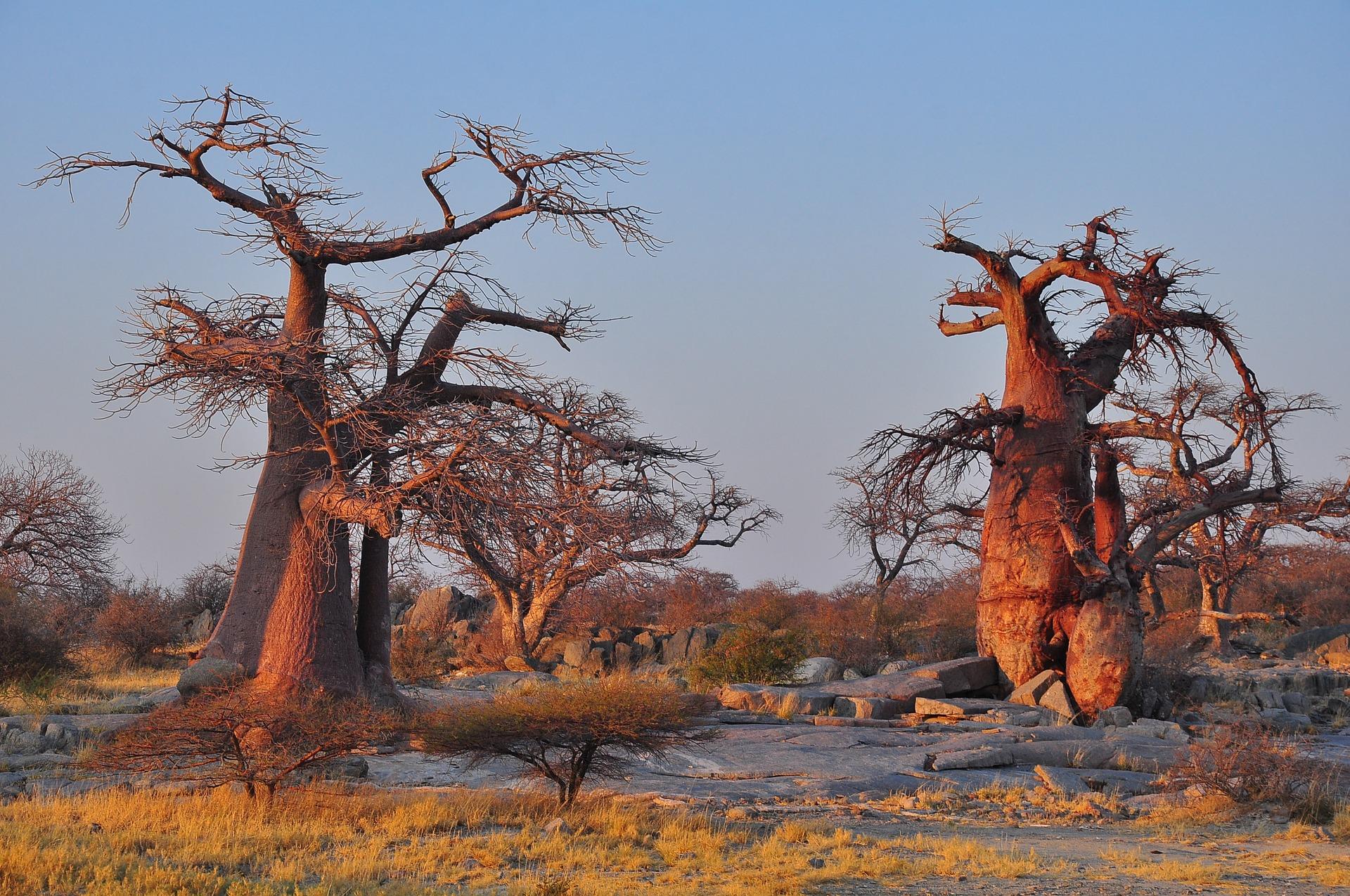 foret de baobab à Madagascar