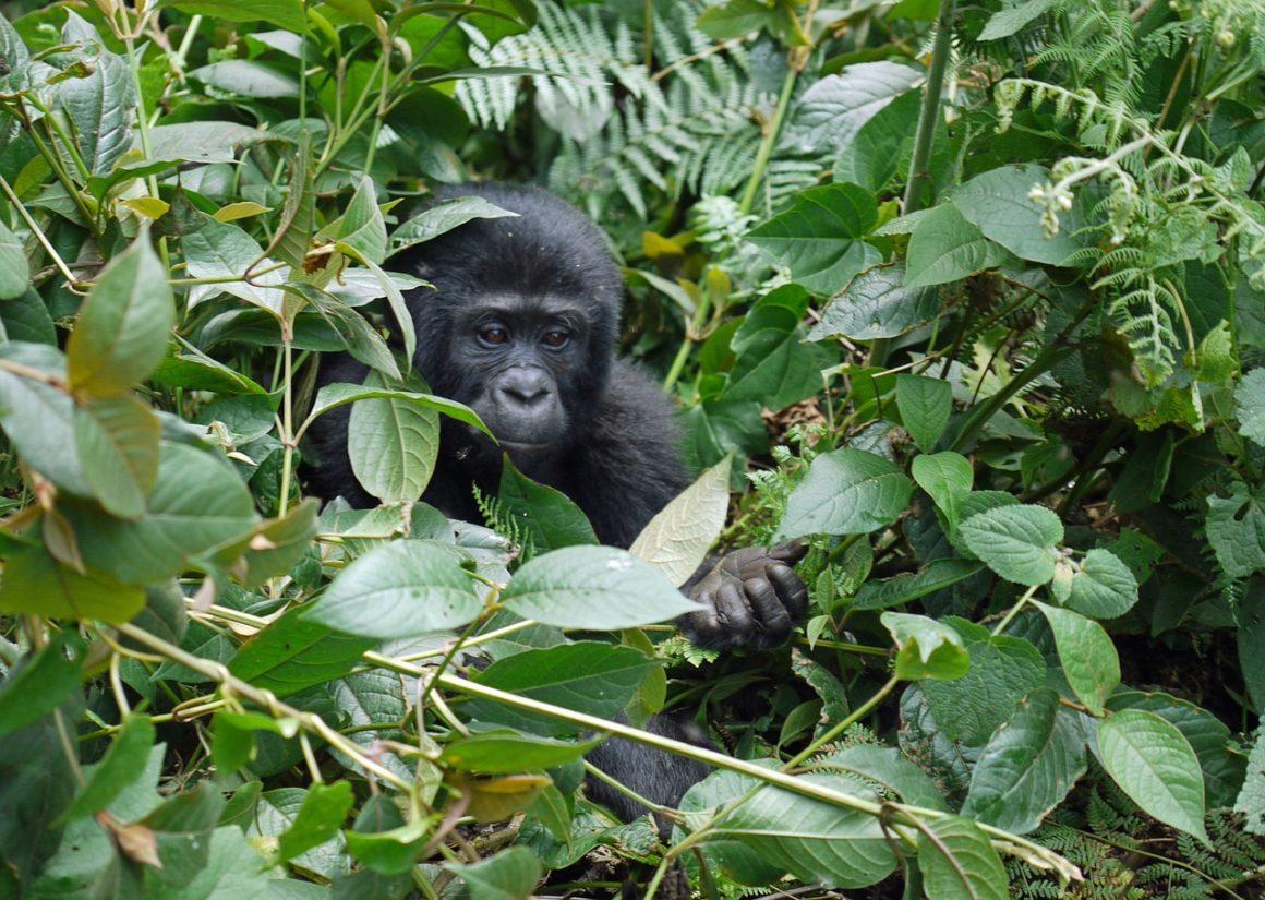Est-il toujours possible de voir des gorilles ?